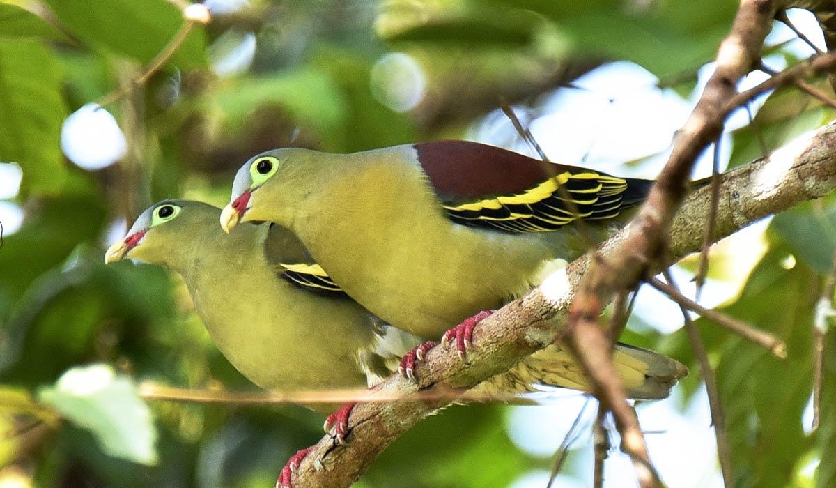 Oiseaux de Thailande